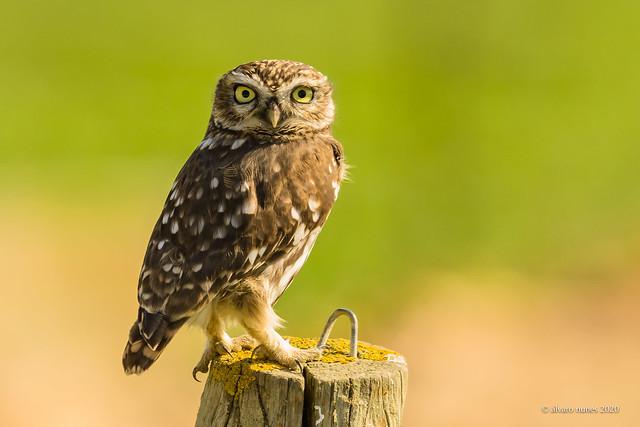 Mocho-galego | Little owl | Athene noctua