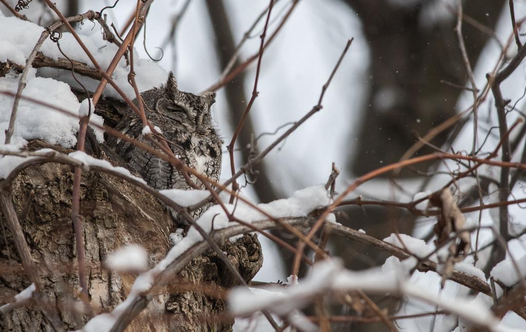 Petit duc maculé/Eastern screech owl -_PM33191