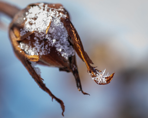 Frosted Flake on Rose Bud