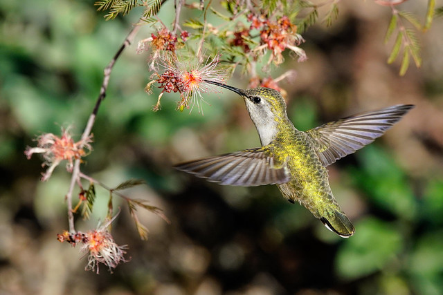 Hummingbird - Sunshine