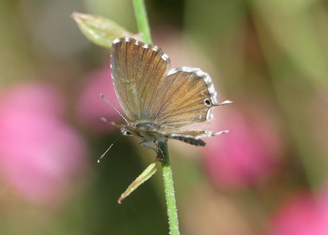 Geranium Bronze (Cacyreus marshalli)