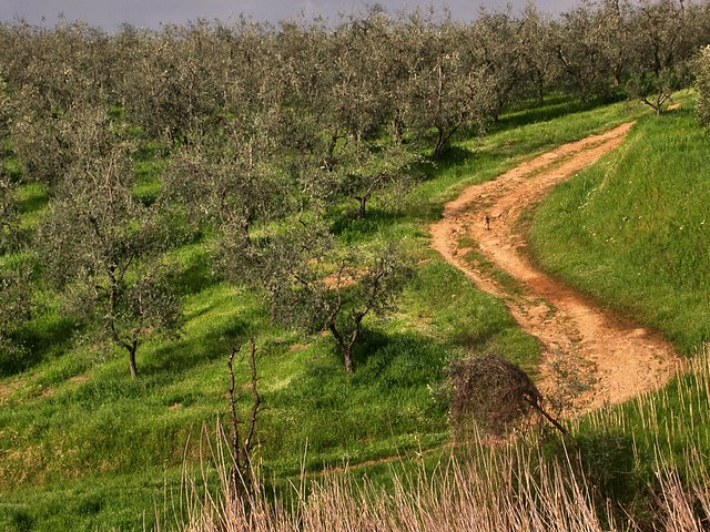 Hillside olive grove and winding dirt road - near Vinci, Tuscany, Italy.