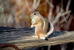 White-tailed antelope squirrel  (由  Monkeystyle3000
