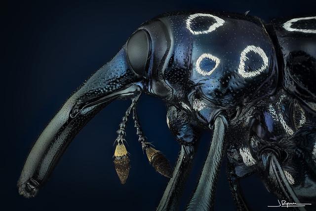 Alcidodes ocellatus [Philippines]