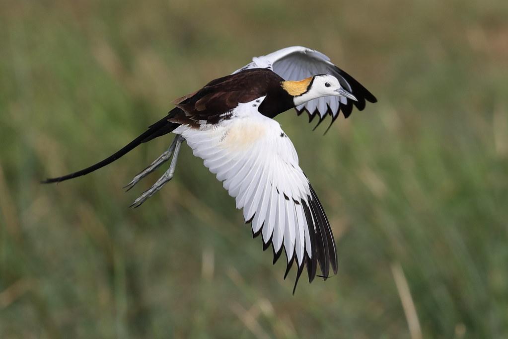 Pheasant-tailed Jacana  Hydrophasianus Chirurgus