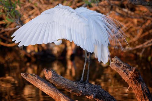 greategret ardeaalba whitebird displayin breedingplumag sunrise venicerookery venice florida environment environmentalconservation outdoors beautyinnature nopeople