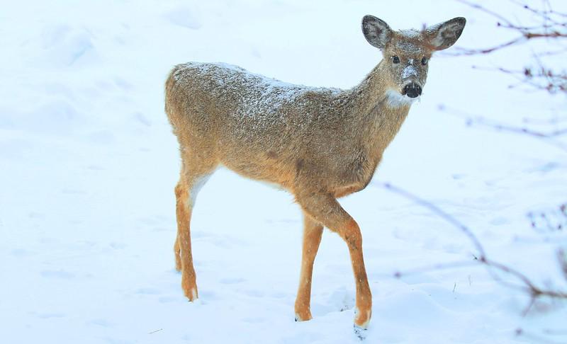 white-tailed deer doe at Lake Meyer Park IA 653A9617