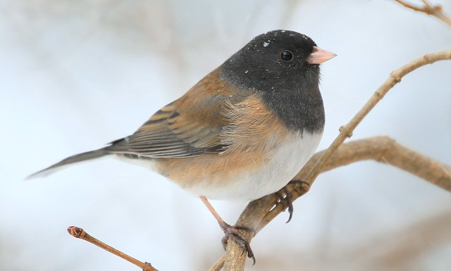 dark-eyed junco at Lake Meyer Park IA 653A9604