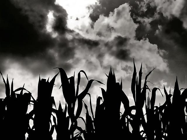 Fall Corn, Cass County 11/87