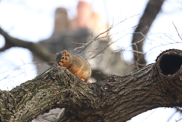 Fox Squirrels on a Winter's Day in Ann Arbor at the University of Michigan - January 17th, 2020