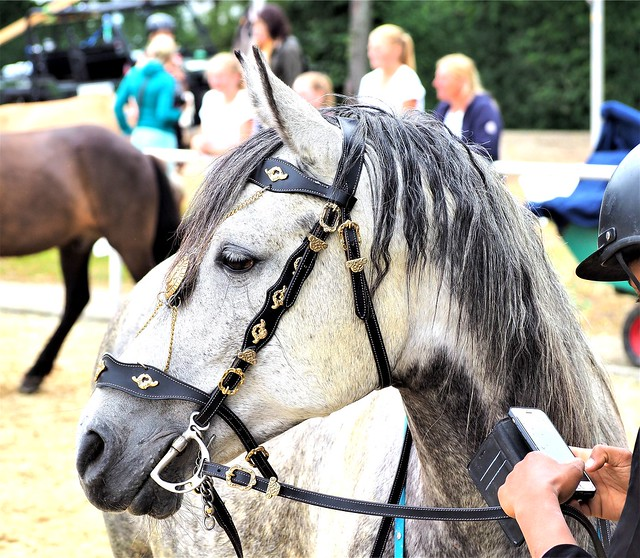 Arabian Horse - seen in Mannheim, Germany, during the Equitana Open Air Horse Show - with over 1.000 Horses - 2019