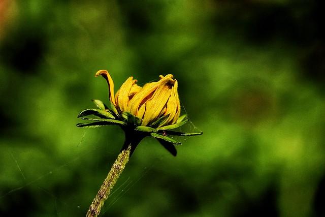 """Cutleaf Coneflower ('Rudbeckia laciniata')"""