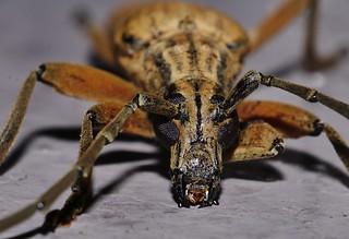 Stretched body Longhorn Longicorn beetle Prinobius sp Prioninae Cerambycidae Mandalay rainforest Airlie Beach P1200379