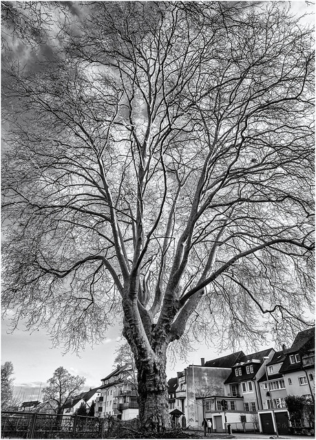 Mighty Tree in Town...