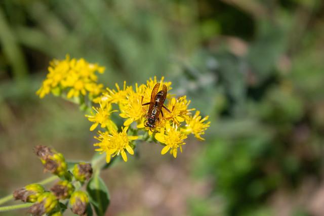 Wasp on Ragweed