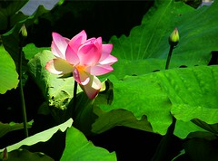 Lotus in Pink