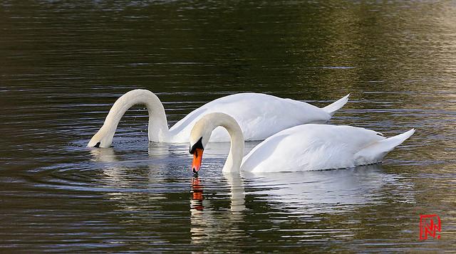 Début de parade l'hiver pour le couple de cygnes....