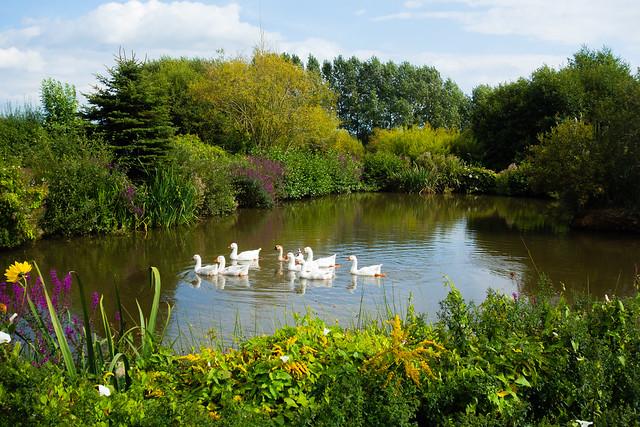 geese - Kia-ora Farm & Gardens, Cullompton, Devon - Sept 2019