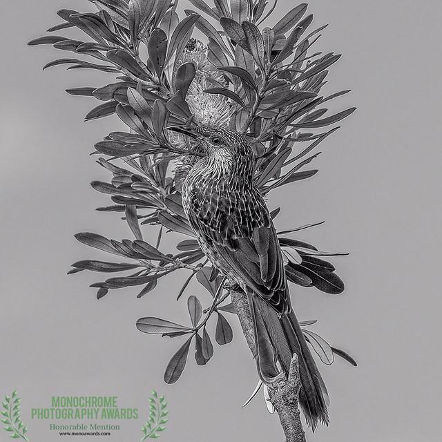 the nectar hunters - a little wattlebird