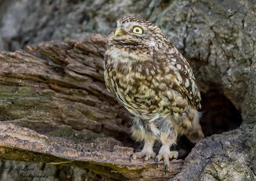 littleowl owl owls birdsofprey raptors avian animal animals wildlife wildbirds wetlands woodlands wildlifephotography jefflackphotography farmland forest fields forests forestry trees hunters nature naturephotography nikon ornithology