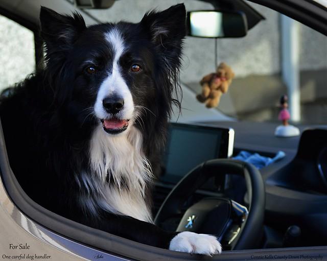 Car for sale...one careful dog handler