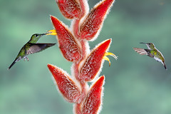 Green-crowned Brilliant and Coppery-headed Emerald hummingbirds