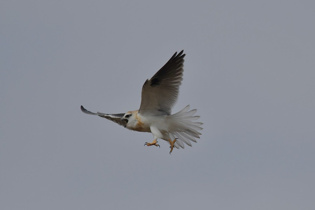 Black shouldered Kite ( The young one is hungry )