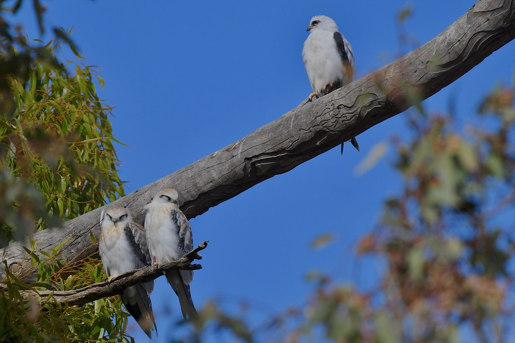 Black -shouldered Kites ( its been a long wait )