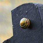 Climbing snail:  17.1.20.