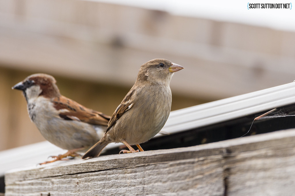 A pair of sparrows on garden fence