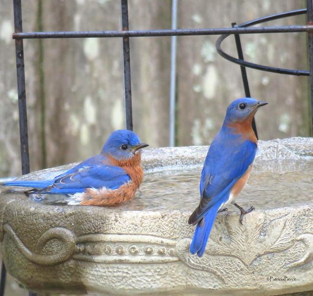 male bluebirds