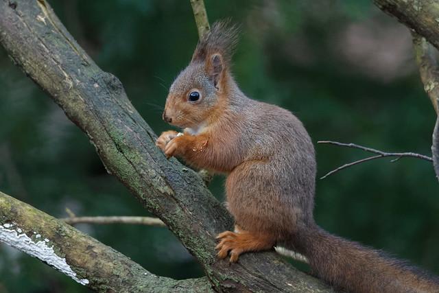 Red squirrel (Sciurus vulgaris) Ekorre