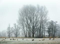 Schafe auf der Winterweide