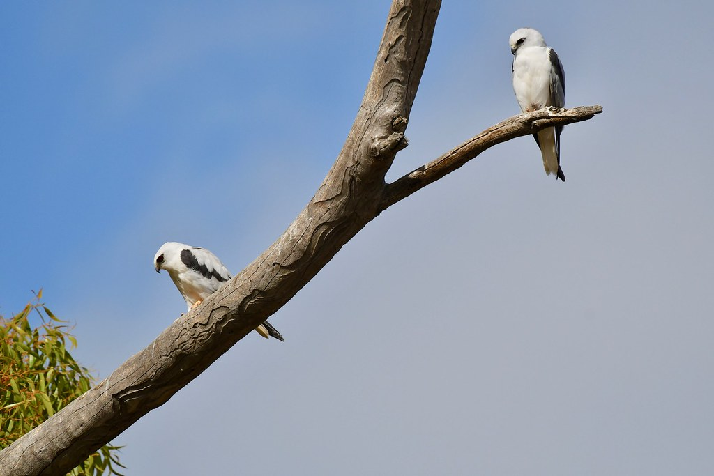 Black-shouldered Kites ( mum and Dad are not shopping today )