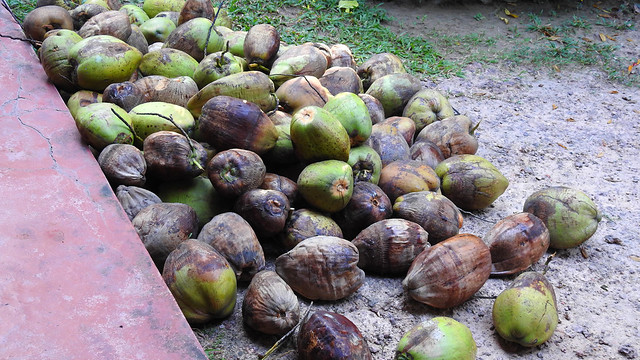 Coconuts Havest