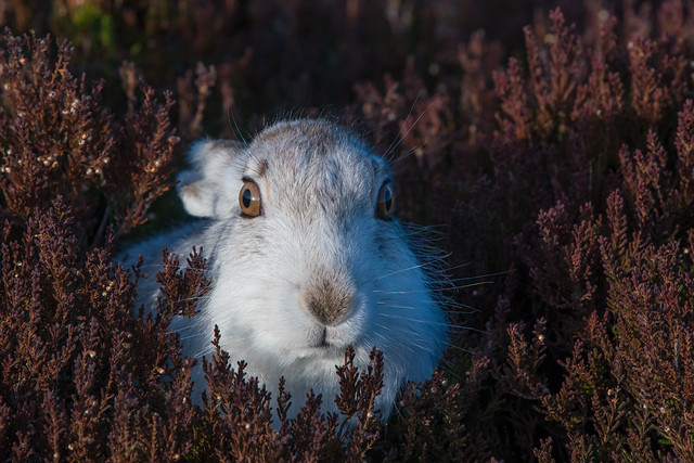 Nose to nose with a Mountain Hare