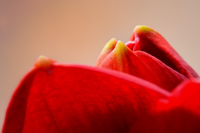 Artsy Abstract Red Amaryllis