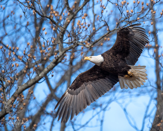 Bald Eagles of New Jersey | 2020 - 5