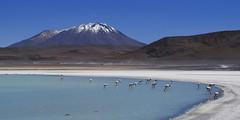 Flamencos andinos Laguna Honda (Bolivia) (2)