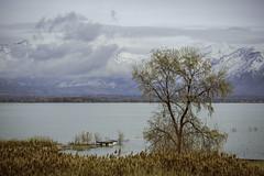 Tree On Utah Lake No. 1