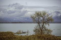 Tree On Utah Lake No. 1