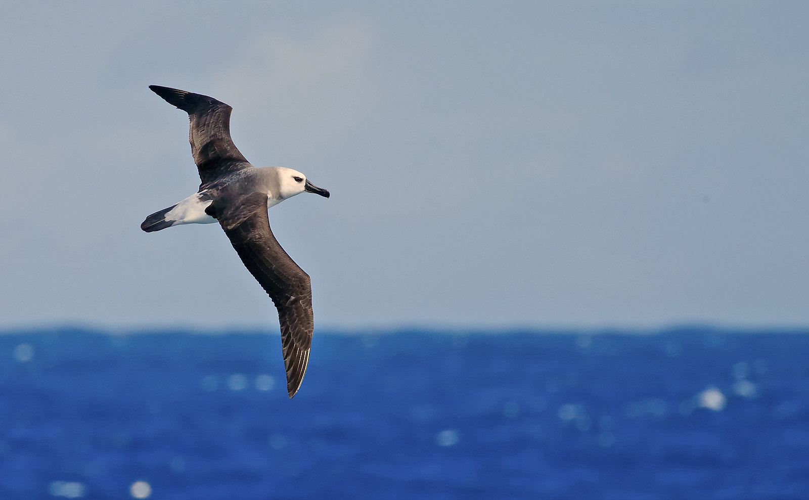 Grey-headed Albatross immature (2nd cycle)