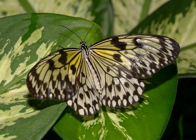 Large Tree Nymph Butterfly, Mariposario, Benalmadena, Spain
