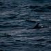 Dolphin in Reykjavik Bay
