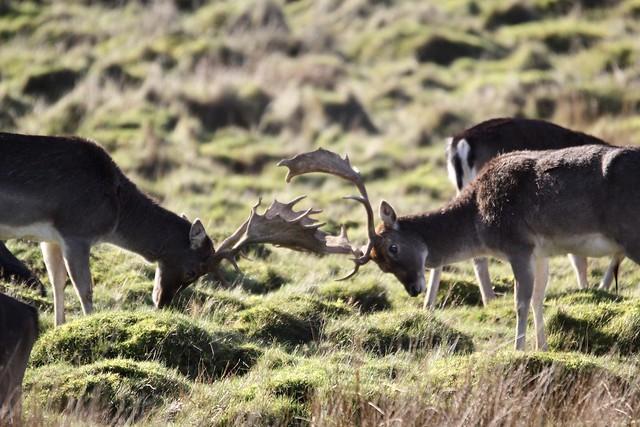 Deer rut at Petworth deer park