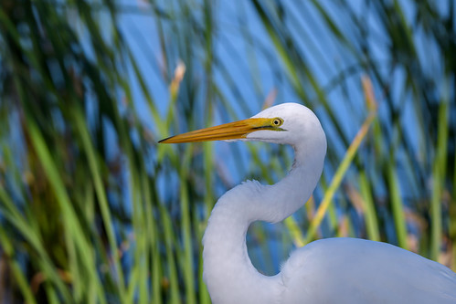 greategret ardeaalba whitebird displaying breedingplumage sunrisedawn venicerookery floridausastate environment environmentalconservation outdoors beautyinnature nopeople closeup bird waterbird nature head beak neck egret pond feather water marsh abigfave