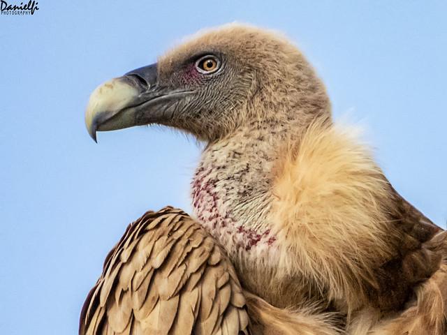 Retrato de buitre - Vulture portrait