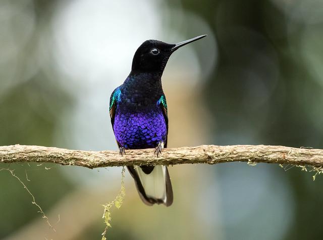 015A3596 Velvet-purple Coronet