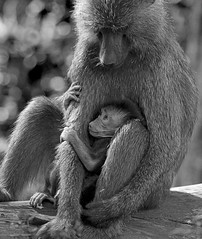 THE WORLDS SCARY MUM (YELLOW BABOON)