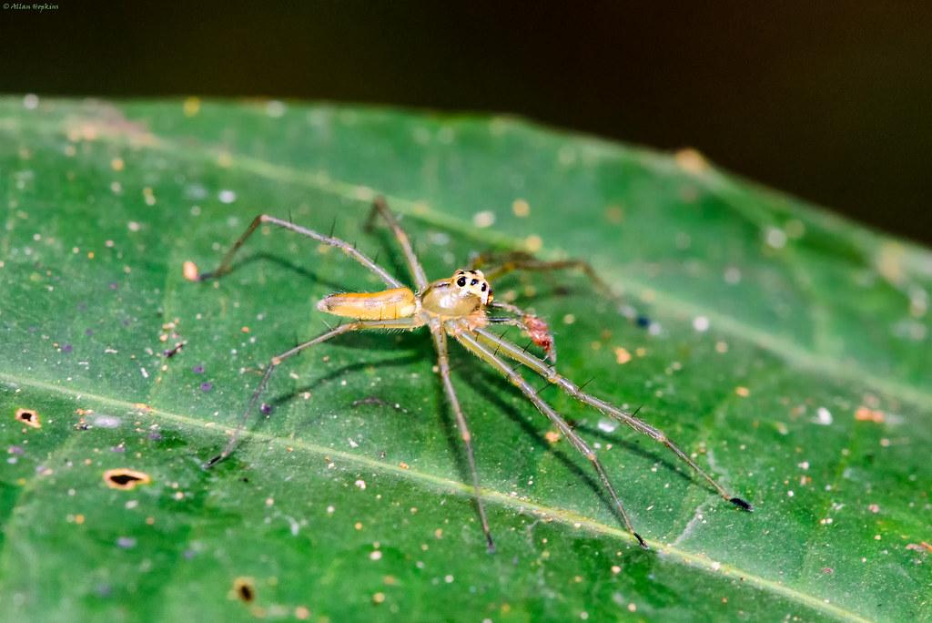 Translucent Green Jumping Spider (Lyssomanes sp.), male